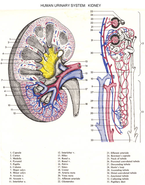 exercise 9 renal system physiology worksheet Physioex 90: laboratory simulations in physiology with 91 update  and lab  manual that consists of 12 exercises containing 63 physiology lab activities that.