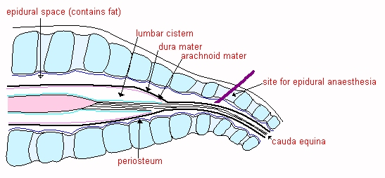 Generalised structure of choroid plexus tissue